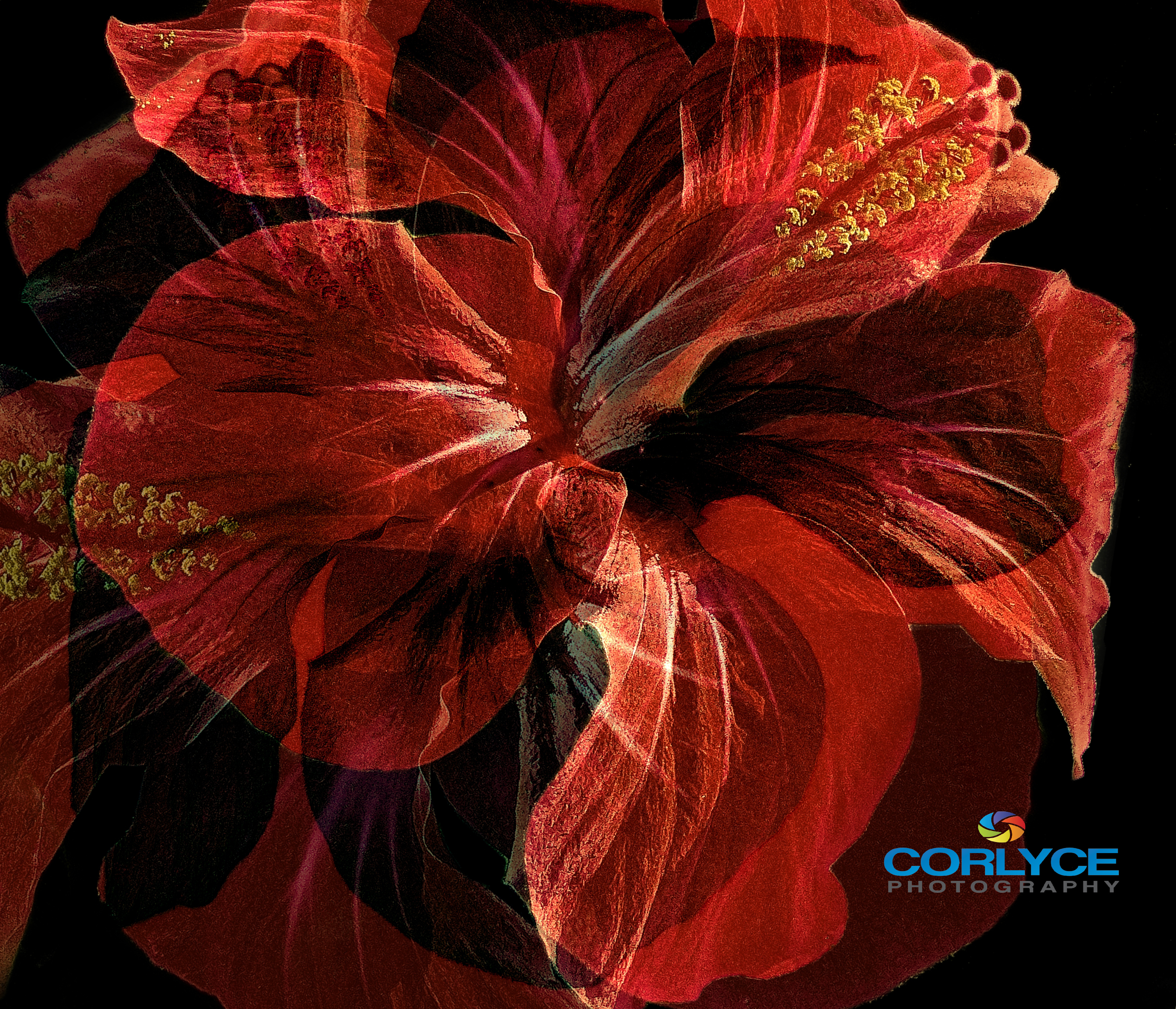 Hibiscus Dream. For Sale on Fine Art America.