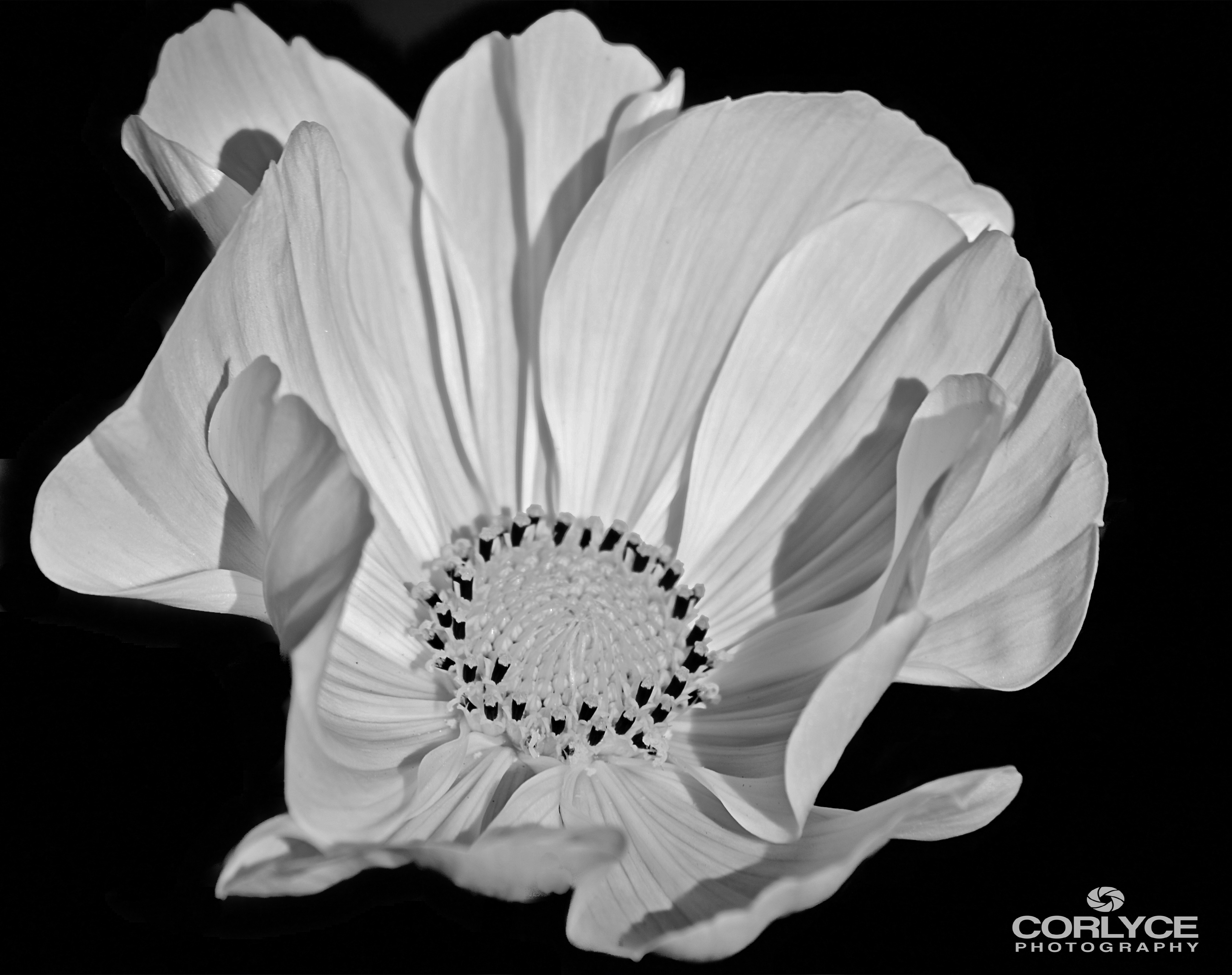 Floral B/W. For Sale on Fine Art America.